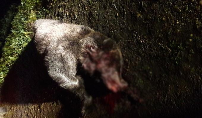 Натрассе Томск— Колпашево сбили медведя, пострадали две машины