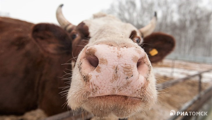 """Томское """"Дубровское"""" увеличит поголовье скота на 220 голов к 2019 году"""