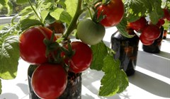 TSU scientists developed a solution for growing tomatoes in the Arctic