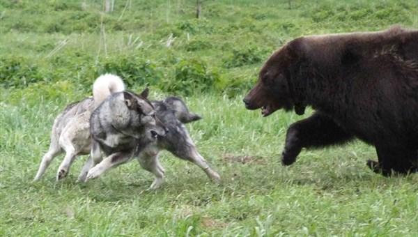 Охотники выследят медведя, вышедшего к томскому поселку Трубачево