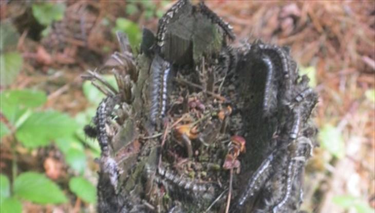 Томская область выделит 50 млн на борьбу с шелкопрядом в томских лесах