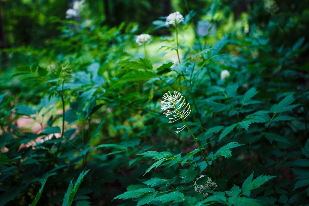 Прокопьев отметил, что томичам необходимо знать, как выглядят ядовитые растения региона. На тропе они растут исключительно для просветительских целей. К примеру, совсем скоро здесь начнет цвести воронец красноплодный, все части которого являются ядовитыми.