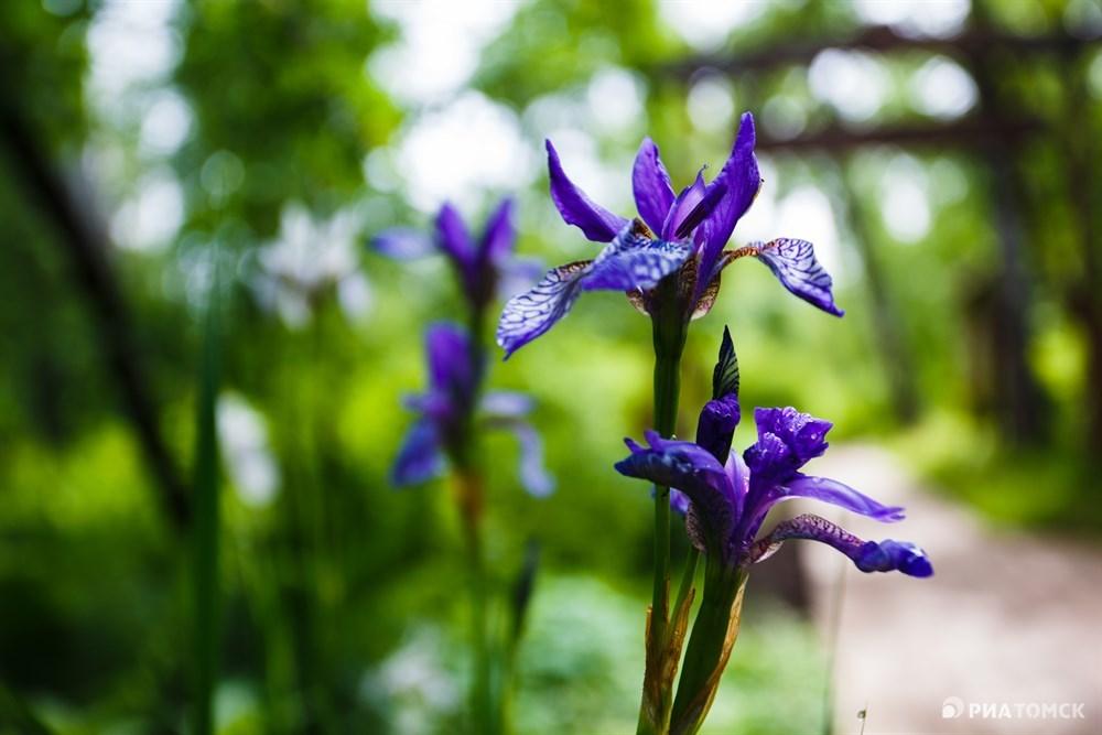 На тропе можно встретить немало редких растений. Например, Ирис сибирский, который занесен в Красную книгу Томской области. Считается, что древний целитель Гиппократ назвал его в честь богини радуги Ириды, так как цветы ириса имеют очень яркую радужную окраску.
