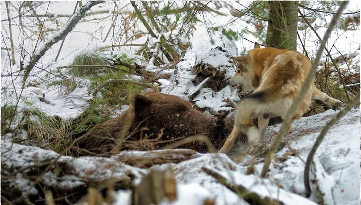 Томские медведи вынужденно выходят из спячки из-за подтопления берлог