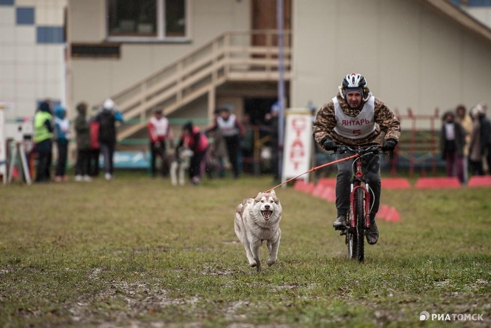 И третья дисциплина – байк-джоринг, когда собака буксирует велосипед.