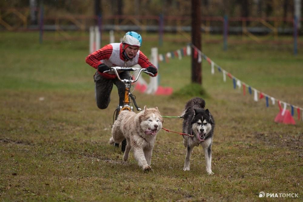 Этот вид гонки требует особой слаженности усилий четвероногих бегунов и наездника.