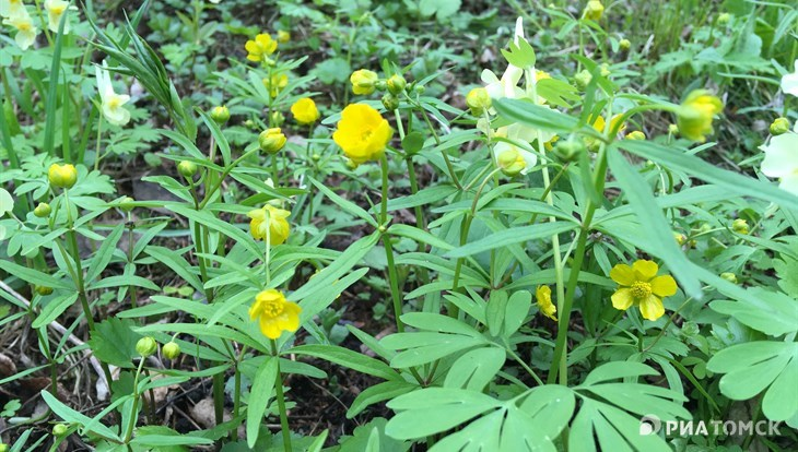TSU and China scientists get a grant for the study of buttercups DNA