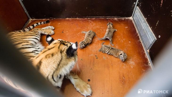 В Томске в гастролирующем цирке родились тигрята